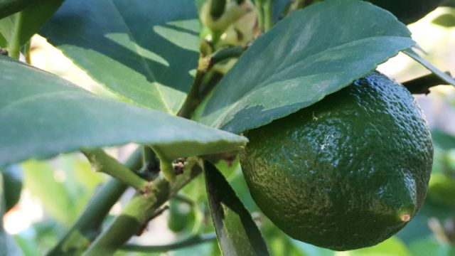 The lemons are coming